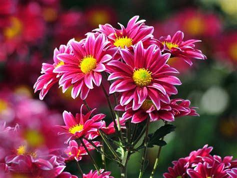 Pupuk Untuk Bunga Krisan cara merawat bunga krisan yang baik tanaman hias