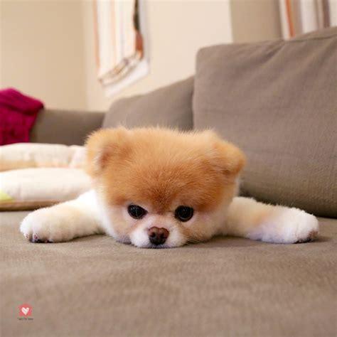 Boo Boo The by Boo Le Chien C 233 L 232 Bre Take Me Home