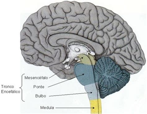 imagenes neuroanatomia pdf tronco encef 225 lico neuroanatomia n 250 cleos e cortes