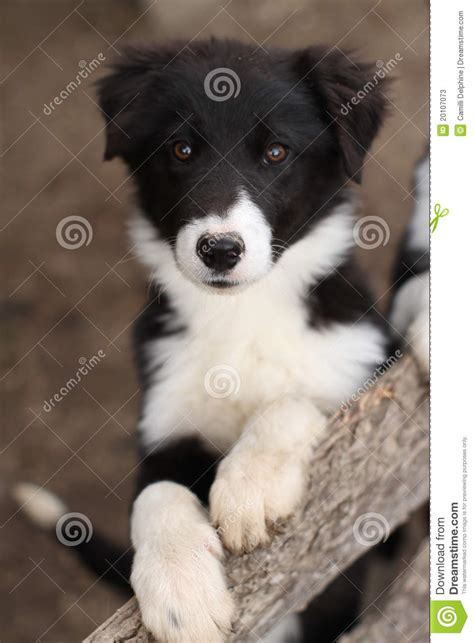 black and white puppy black and white puppy stock photos image 20107073