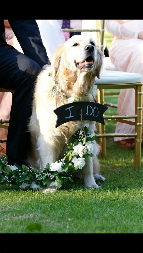 a golden retriever at the museum best 25 golden retriever wedding ideas on