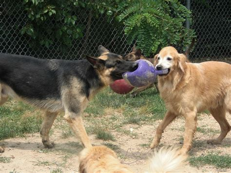 golden retriever vs german shepherd fight 2017 delightful golden retriever or german shepherd near me pictures images