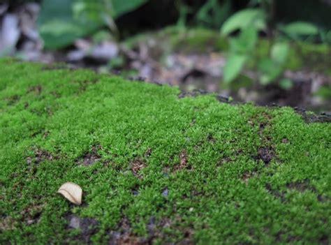 tumbuhan tidak berpembuluh lumut bryophyta biologi sma