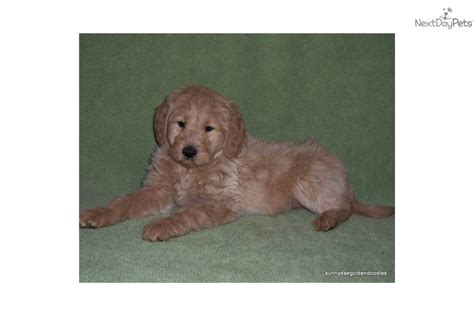 goldendoodle puppy ny goldendoodle puppy for sale near binghamton new york
