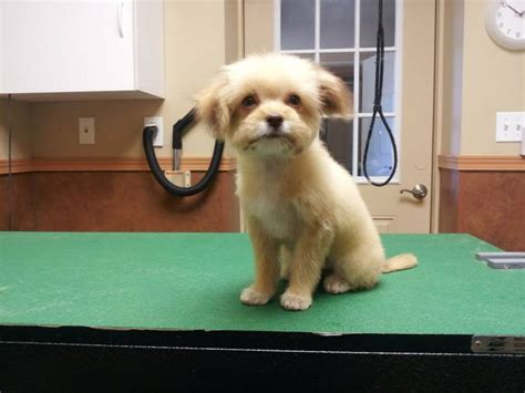 hair cut ideas for a pomeranian chihuahua mix pomeranian puppy cut grooming