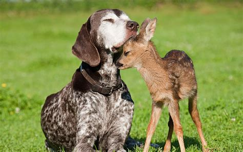 fawn puppy and fawn dogs photo 36893524 fanpop