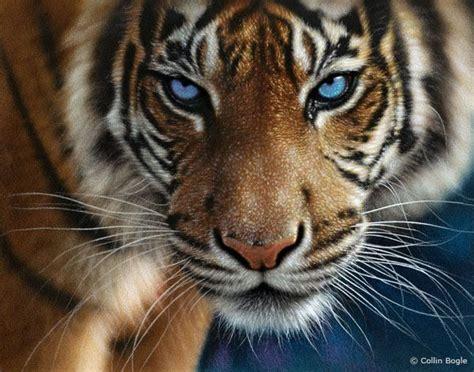 imagenes ojos de tigre tigre de ojos azules amigos mundiales serunserdeluz