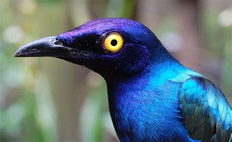 purple glossy starlings arrive tilgate nature centre