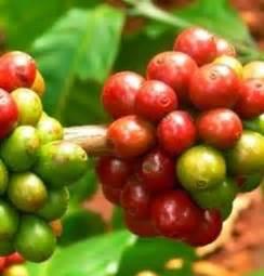 Kopi 29 Malaysia anim agro technology kopi industri di asean