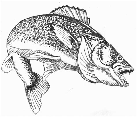 walleye clipart clipart suggest