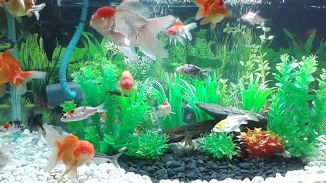 akuarium ikan mas koki design aquarium ikan koki 1 youtube
