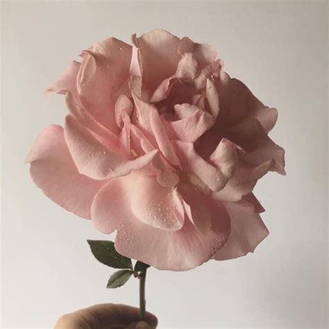 rosa fiori rosa fiori