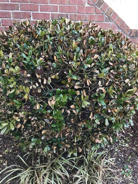 dwarf burford holly   expert