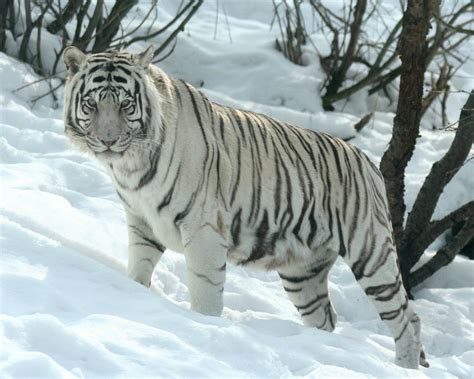 TIGER WALLPAPERS: Best White Tiger Wallpapers