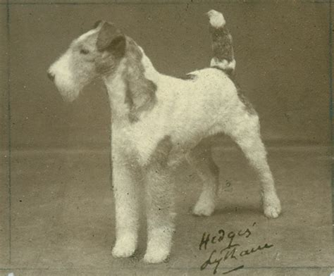 Wire Fox Terrier Shedding by Wire Fox Terrier History Temperament American