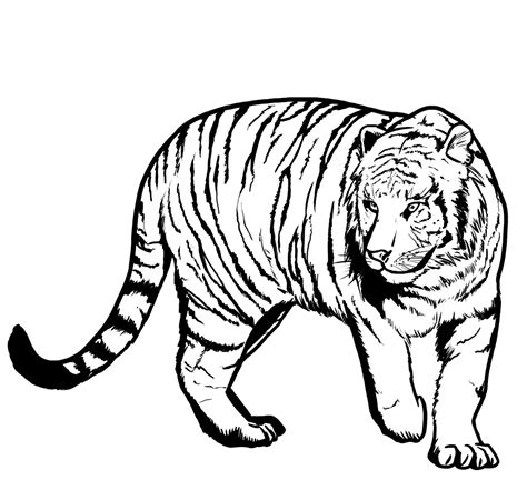 pin white tiger colouring on pinterest