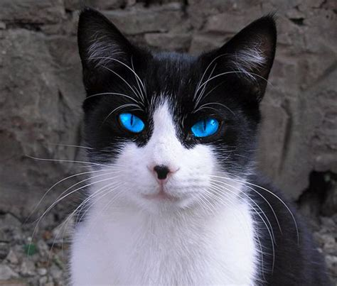 blue eyed names names for white cats with blue cats