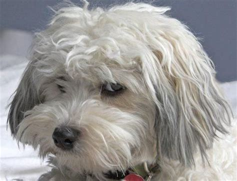 gray havanese 1000 ideas about havanese grooming on havanese puppies abyssinian and