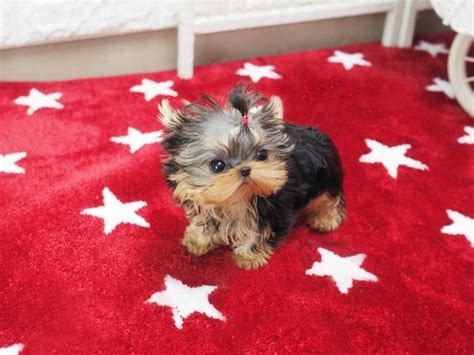 yorkie bows for sale 17 best ideas about teacup yorkie on yorkie terriers and yorkie