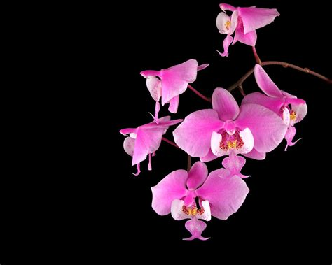orchid flowers flowers wallpapers orchids flowers wallpapers