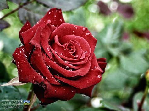 Bildergebnis für عکس+گل+سرخ