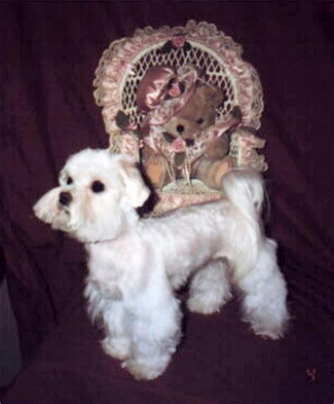 boy maltese haircuts dog maltese puppy cut haircut