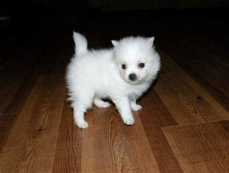 how much is a white teacup pomeranian white teacup pomeranian pomeranians