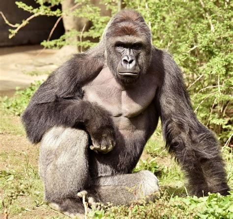 killing of gorilla harambe to save boy at ohio zoo