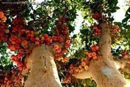 Bibit Okulasi Cempedak Aroma Durian Type A sicomoro ecured