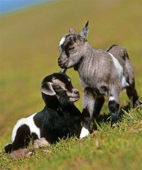 goats as house pets 25 best ideas about happy birthday goat on pinterest the goat homemade gifts and