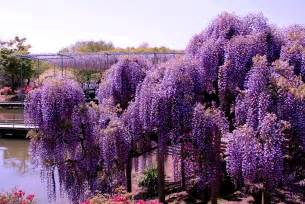 wisteria japan world for travel