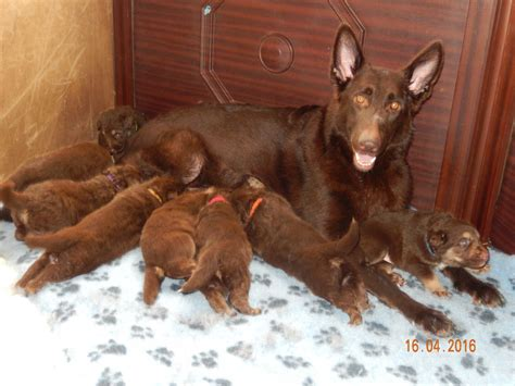liver german shepherd german shepherd puppies liver and gold longcoats gloucester gloucestershire