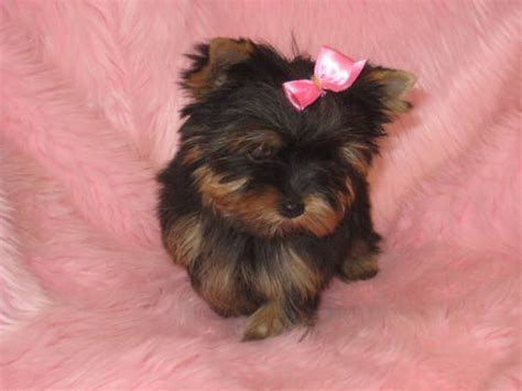 yorkies for sale in manitoba yorkie puppies teacup for sale adoption from manitoba winnipeg metro