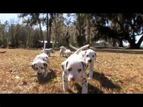 dogs 101 golden retriever animal planet breeds wolfhound dogs 101 animal planet