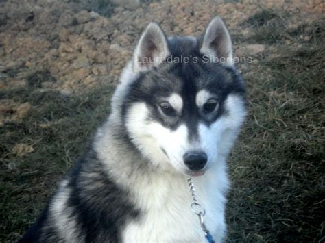 husky mixed with pomeranian puppies for sale 1000 ideas about pomeranian husky puppies on husky pomeranian mix teacup