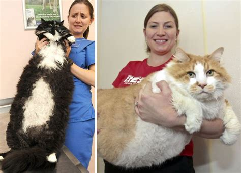 large house cat photographers capture 20 of the largest house cats to ever hit the internet techeblog