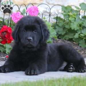 newfoundland puppies in pa newfoundland puppies for sale in pa