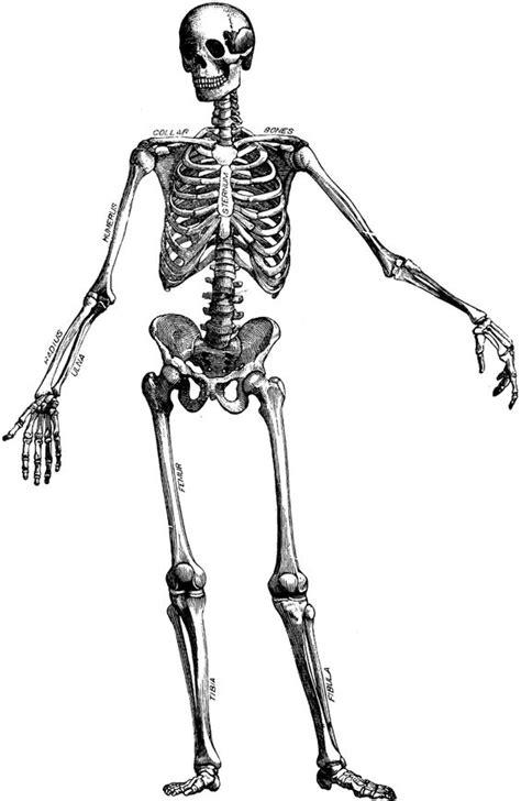 bones skeleton cliparts   clip art