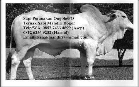 Bibit Sapi Peranakan Ongole pusat bisnis sapi bogor jual beli sapi ternak sapi
