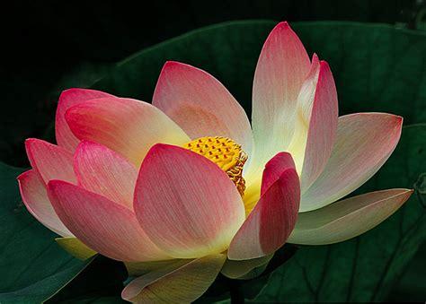ninfea fiore di loto piante acquatiche per abbellire vasche e laghetti