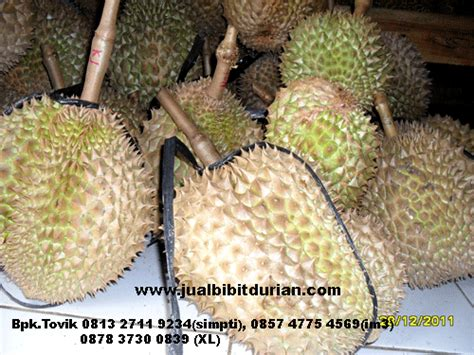 Bibit Buah Bit bibit durian montong bibit durian unggul durian bawor