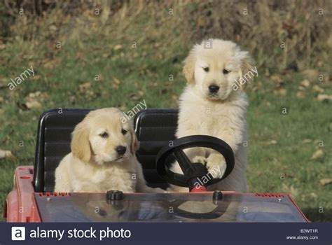 golden retriever driving car two golden retriever puppies in a car stock photo royalty free image 19622003