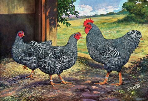 buy plymouth rock chickens barred rock hen vs rooster www pixshark images