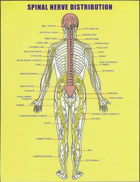 diagram of spine discs spine diagram with discs anatomy organ