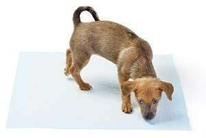 how often should a puppy urinate how to your to use pads or grass pads thatmutt a