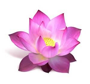 Lotus Flower Delivery Lotus Flower Wallpaper Desktop 15328 Wallpaper