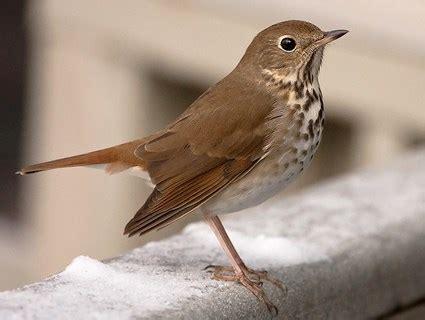 wood thrush identification all about birds cornell lab
