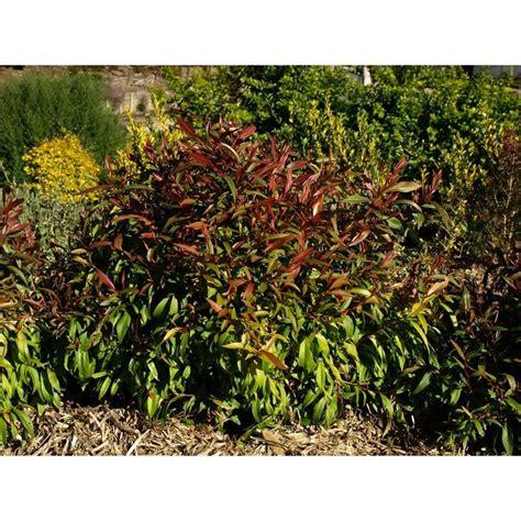 plant agonis 140mm flexuosa nana i n 3865201 bunnings