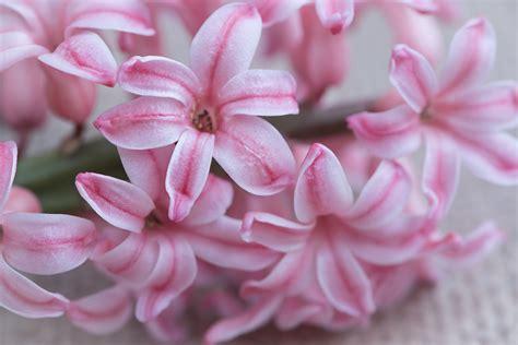 fiori di giacinto tutti i consigli per avere dei bellissimi giacinti fito