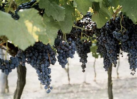 17 best images about concord grapes on pinterest gardens raised beds and distance